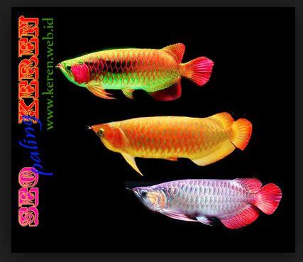 Anakan Ikan Arwana Golden Ini Dia Cara Praktis Budidaya Ikan Arwana Golden Asal Indonesia Serta Harganya Infoikan