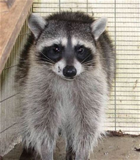what to do if a raccoon is in your backyard project wildlife