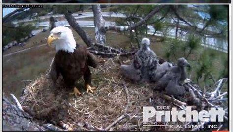 southwest florida eagle cam check out the southwest florida eagle cam visitflorida com