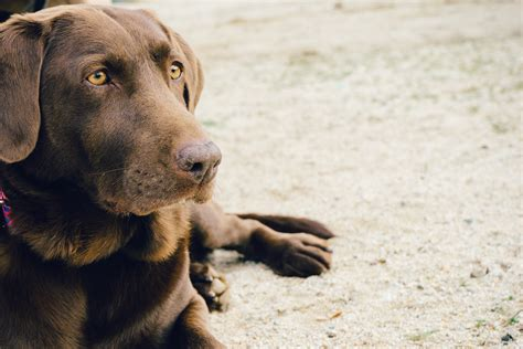 Es Cur Animal Brown Labrador Pet 183 Free Photo