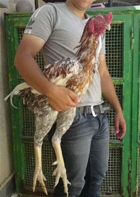 what is the largest breed of what is the largest breed of chicken page 3