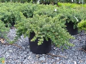 Juniperus Blue Rug Buy Blue Pacific Juniper For Sale Ground Cover Junipers