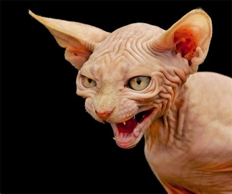 scary cat top 10 seriously scary cats shelter cats and