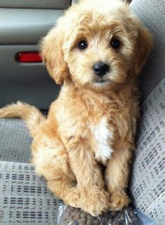 top 10 small dogs that don t shed small dogs sheds and dogs
