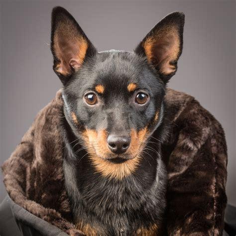 black spikey fur dog faux fur dog blanket brown black