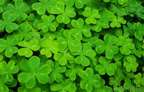 what is a shamrock with pictures