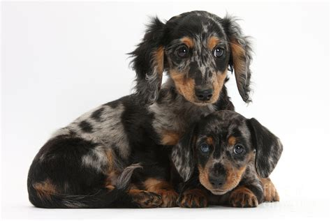 tricolor dachshund puppies by
