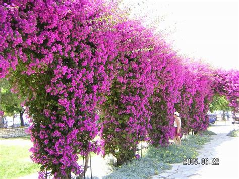 Container Flower Gardening Ideas - 526 best bougainvillea images on pinterest bougainvillea gardening and flowers