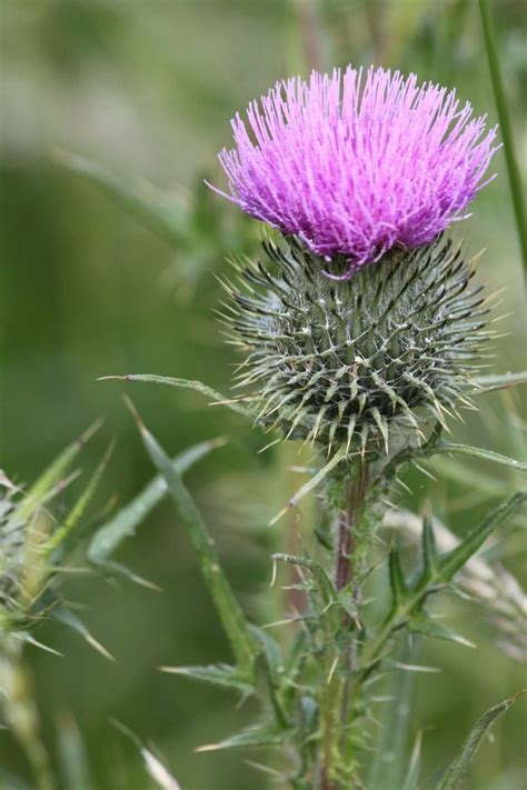 Find Scotland Scottish Thistles Tattoos Designs Scottish Thistles Tattoos Ideas Scottish Thistles