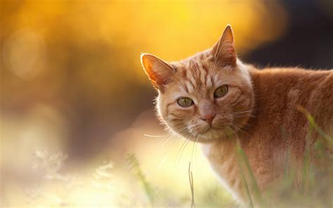 wallpaper cat orange red cat on an orange background wallpapers and images