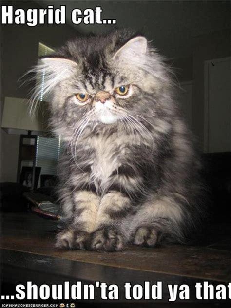 Random Cat Meme - hagrid funny cat pictures dump a day