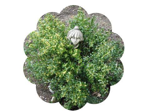 Buxbaum Vermehren by Buchsbaum Einfach Vermehren