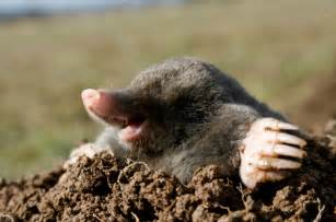 how to get rid of moles in your yard 6 working ways