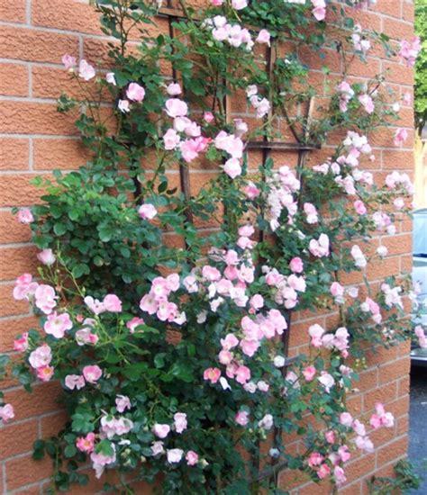 Bibit Bunga Mawar Rambat tanaman pink climbing mawar rambat pink