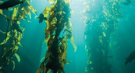 The In The Kelp let s talk kelp