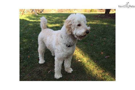 goldendoodle puppy behavior problems scooby goldendoodle puppy for adoption near the thumb