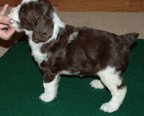 springer spaniel puppies for sale in wisconsin find wisconsin springer spaniel puppies for sale breeds picture