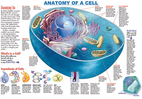 human cell diagram infographic anatomy of a cell discover