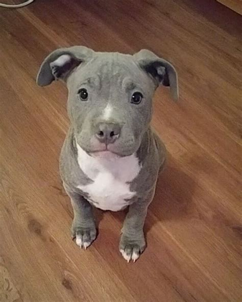 pitbull terrier puppies best 25 pitbull terrier ideas on american pitbull american pitbull