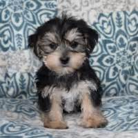 puppies for sale in pa 200 puppies for sale in pa ridgewood puppies for sale