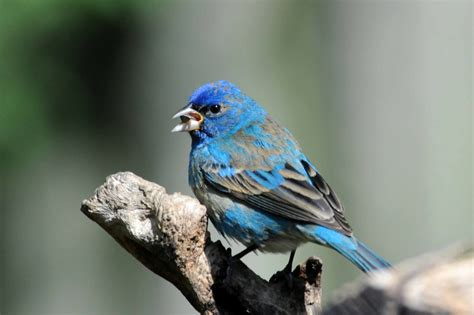 How To Attract Indigo Buntings To Your Backyard by Blue Colored Birds Birds In The Yard