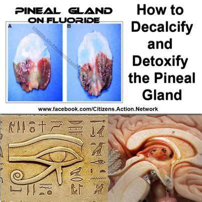 Detox Gland by Best 25 Decalcify Pineal Gland Ideas On