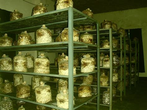 agriculture information world oyster mushroom growing