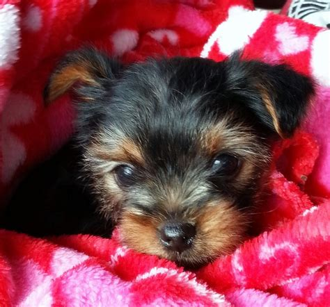 pictures of baby yorkie puppies pictures of baby yorkies www imgkid the image kid has it