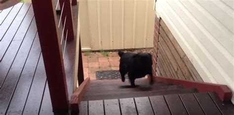 pug going up stairs this pug taking the stairs in this vine is amazing we ve watched it 5 times