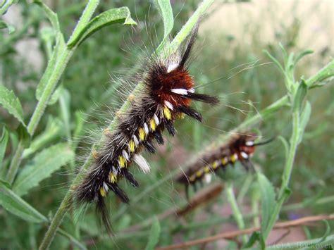 Caterpillar Yellow caterpillars 6legs2many