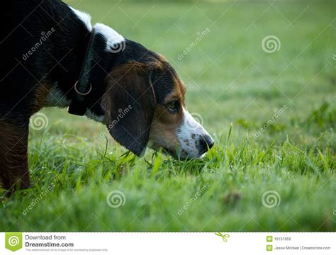sniffing royalty free stock images image 16151959