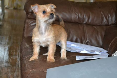 chihuahua mixed with yorkie terrier terrier x chihuahua chorkies manchester greater manchester pets4homes