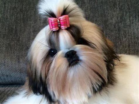shih tzu puppies orlando shih tzu puppies for sale akc marketplace
