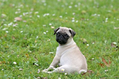 what were pugs bred for pin by beefeaters usa on featured breeds