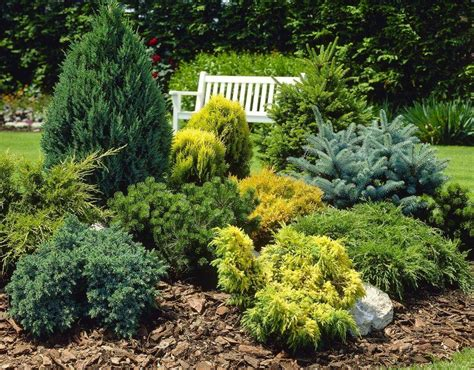 Kitchen Colour Ideas dwarf slow growing conifers collection of 5 different
