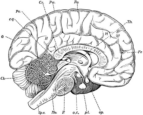 anatomy of the brain coloring book brain clipart etc