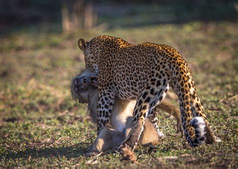 legendary leopard lives   lucy africa geographic