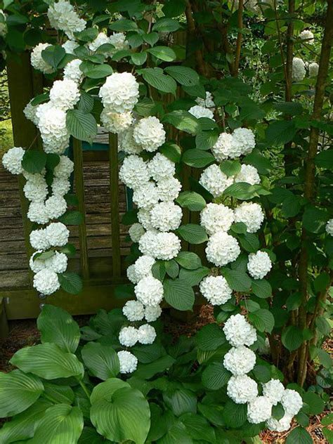 climbing plants shade loving gorgeous climbing hydrangea is a deciduous vine that is