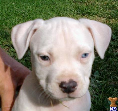 all white pitbull puppies american pit bull puppy for sale all white american pitbull puppies 4 years