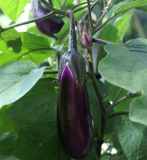 Bibit Terong Ungu Siap Tanam jual tanaman terong ungu bibit