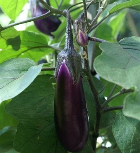 Bibit Terong Ungu Terbaik jual tanaman terong ungu bibit