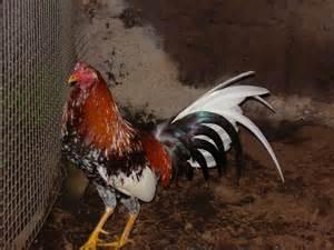 gallo a de gallos gallos miguel lorenzo