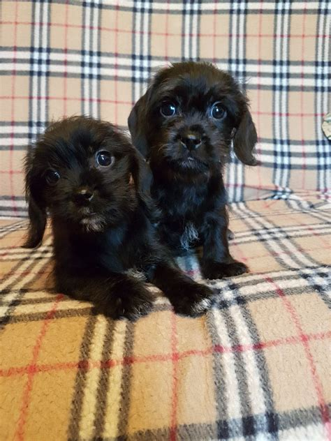 shih tzu cross breed dachshund shih tzu cross miniature dachshund st helens merseyside pets4homes