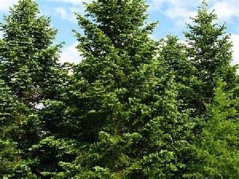 Planter Sapin Nordmann by Le Sapin De Nordmann Entretien Et Plantation
