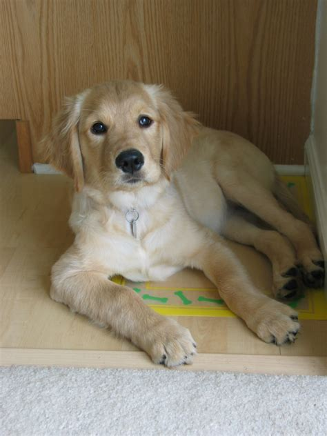 golden retriever puppies grand rapids mi golden retriever puppies grand rapids dogs for sale puppies for sale grand
