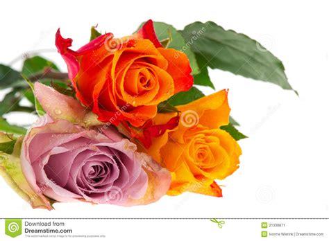 imagenes de rosas varios colores tres rosas en varios colores imagen de archivo imagen