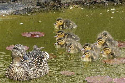 ducks in backyard how to attract ducks
