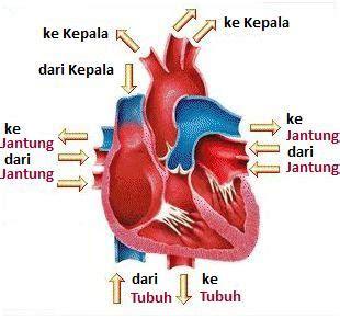 gambar gambar jantung hewan karnivora beserta fungsinya
