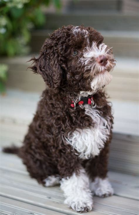 lagotto puppies 17 best ideas about lagotto romagnolo on brown labradoodle golden doodles