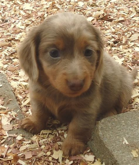 shollie puppies for sale pets for sale free pet classifieds on usfreeads buy free dachshund puppies for sale